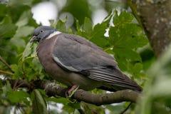 Palumbus колумбы голубя садилось на насест на ветви дерева между gr Стоковые Изображения