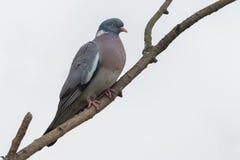 Palumbus колумбы голубя сидя на ветви с белым backg Стоковое фото RF