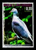 Palumbus di Columba del colombaccio, serie asiatico degli uccelli, circa 1976 Fotografia Stock