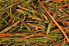 Palustre de Marsh Northern Labrador Tea Ledum Photographie stock