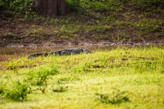 Palustris крокодила крокодила уличного вора в Шри-Ланке стоковая фотография rf
