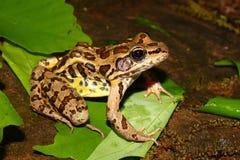 Palustris Раны лягушки Pickerel Стоковые Фотографии RF