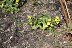 Palustris amarelos brilhantes do caltha imagem de stock