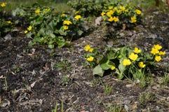 Palustris amarelos brilhantes do caltha fotos de stock royalty free