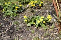 Palustris amarelos brilhantes do caltha imagens de stock royalty free