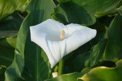 Palustris Calla Стоковое Изображение
