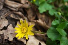 Palustris Caltha λουλουδιών Στοκ Φωτογραφίες