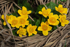 Palustris de Caltha Photographie stock