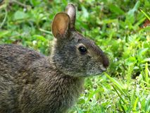 Palustris de Marsh Rabbit Sylvilagus Images stock