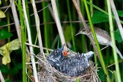 Palustris del Acrocephalus Il nido di Marsh Warbler in natura fotografie stock libere da diritti