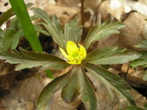 Palustris del Caltha Immagine Stock