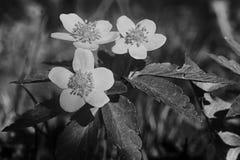 Palustris del Caltha in bianco e nero Fotografia Stock Libera da Diritti