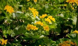 Palustris del Caltha, la flor amarilla de la primera primavera de los vernalis de Adonis Fotografía de archivo libre de regalías