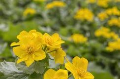 Palustris del Caltha, primeros vernalis de Adonis de la flor de la primavera Foto de archivo