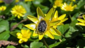 Palustris del Caltha y un insecto Fotografía de archivo