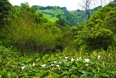 Palustris do Calla - plantas do arquipélago dos acores Fotografia de Stock