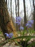 Palustris do Caltha Imagem de Stock