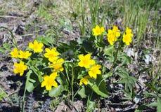 Palustris för Caltha för blomningträskringblomma Arkivbilder