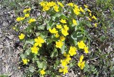 Palustris för Caltha för blomningträskringblomma Royaltyfria Foton