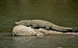 Palustris- Marsh Crocodile del Crocodylus che prende il sole su una roccia del fiume immagine stock libera da diritti