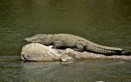 Palustris- Marsh Crocodile del Crocodylus que toma el sol en una roca del río imagen de archivo libre de regalías