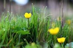 Palustris/marsh-marigold/kingcup del Caltha en rocío de la mañana Fotos de archivo libres de regalías