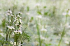 Palustris pantanosos 3 do hottonia dos dois pontos Imagens de Stock Royalty Free