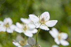 Palustris parnassia Royalty Free Stock Photography