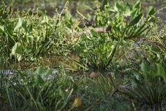 Palustris van Marsh Crocodile - Crocodylus-, Sri Lanka stock afbeelding