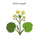 Palustris van Marsh Marigold of van Kingcup Caltha Royalty-vrije Stock Afbeeldingen
