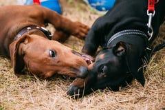 2 palyful Брайн и черные собаки таксы Стоковое Изображение RF