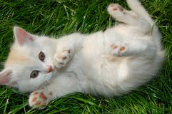 Palying kitten Stock Photo