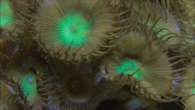 Palythoa Coral Colony. Macro view of a palythoa coral underwater swaying in the current stock footage