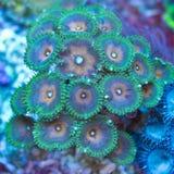 Palythoa polyps. Macro of Palythoa coral colony Stock Images