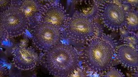 Or Palythoa tacheté Coral Moving dans l'écoulement lourd banque de vidéos