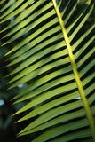 Pam leaf Royalty Free Stock Photo