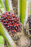 Pam oil fruit. Are grow up Royalty Free Stock Image