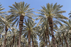 Pam Trees in the Jordan Valley Stock Images
