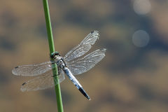 Pamabrom lattice on the blade of grass above the water surface of the lake. Dragonfly lattice, or a big blue dragonfly lat. Orthetrum cancellatum is a dragonfly Royalty Free Stock Photos
