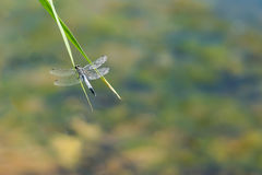 Pamabrom lattice on the blade of grass on the lake. Dragonfly lattice, or a big blue dragonfly lat. Orthetrum cancellatum is a dragonfly of the genus Orthetrum Stock Image