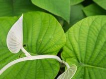 Pamflet van het Klimplantzilver royalty-vrije stock fotografie