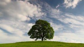 Pamiątkowy klonowy drzewo na tajemniczym miejscu zbiory