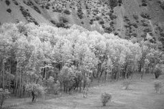 Pamir birch on the lake Iskander, Tajikistan. In black and white Stock Image