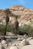 Pamls at Mt in national park Ein Gedi near the Dead Sea in Israe Stock Images