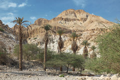 Pamls at Mt in national park Ein Gedi near the Dead Sea in Israe Stock Photography