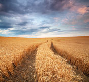 Pamorama-Wiese des Weizens Stockfotografie
