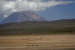 Pampa Canhauas and volcano El Misti. This is El Misti volcano in Peru with vicunas at Pampa Canhauas Stock Images