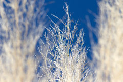 Pampa grass. Close up of pampa grass Stock Photos