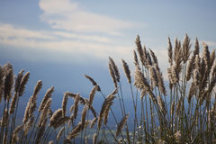 Pampa grass. Flowers in the mountain Stock Images