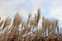 Pampagras in de hemel door wind wordt geblazen die royalty-vrije stock fotografie